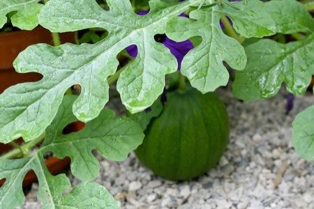 tiny_watermelon