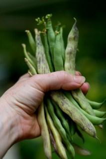 Bean_Harvest
