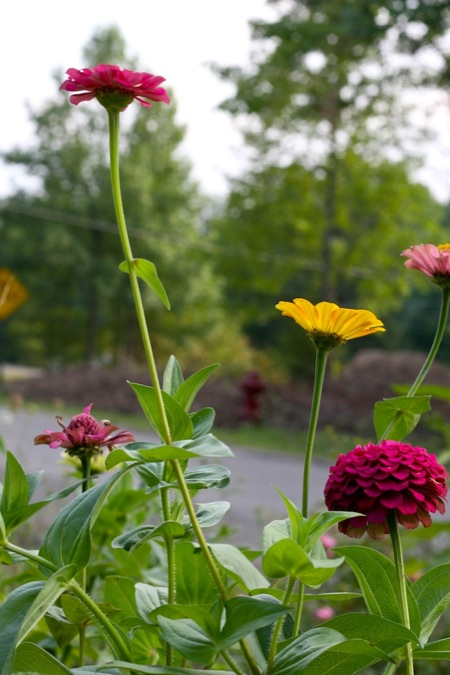colorful_zinnias_blooming