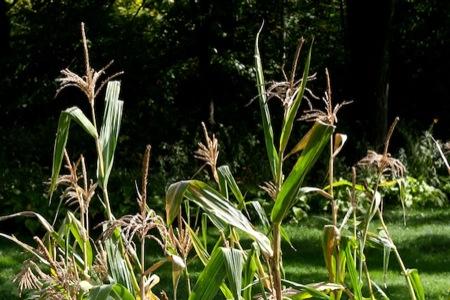 Corn_tassels