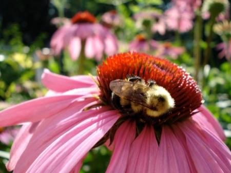 Bumblebee_on_echinacea