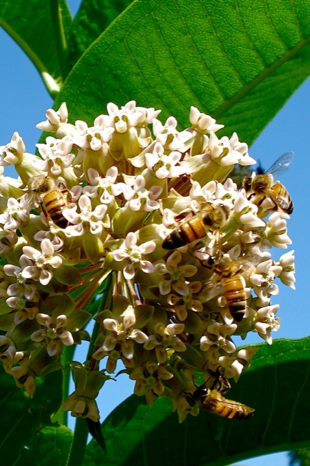 Honeybees_on_milkweed