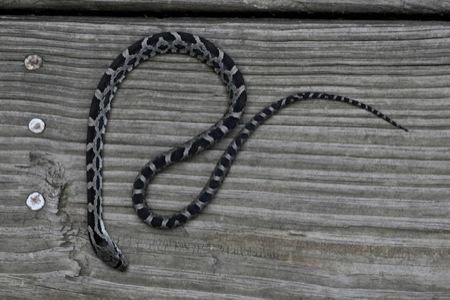 Baby_Black_RAt_Snake