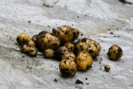Fresh_potatoes