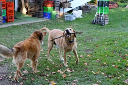 Dogs_playing_with_stick