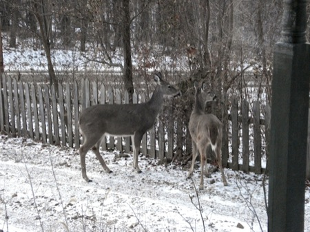 deer_eating_vine