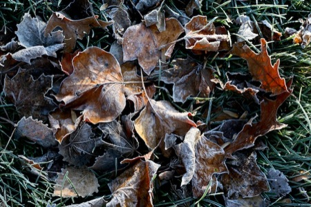frosty_leaves