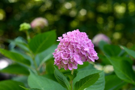 Hydrangea_endless_Summer_bloom