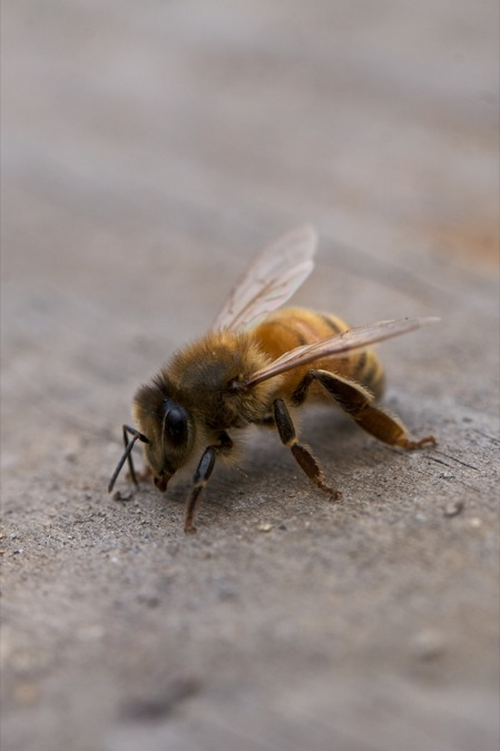 honeybee_macro