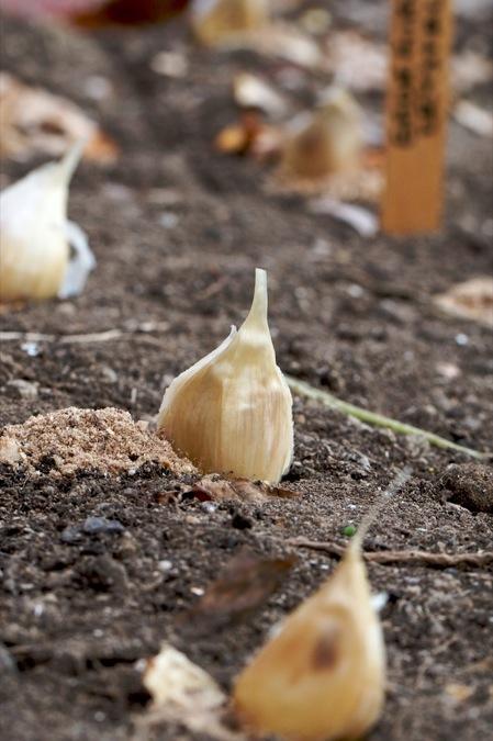 planting_garlic