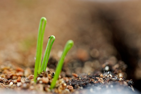 onion_seedlings