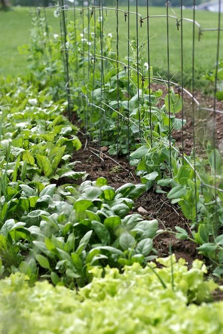 rowed_vegetable_garden