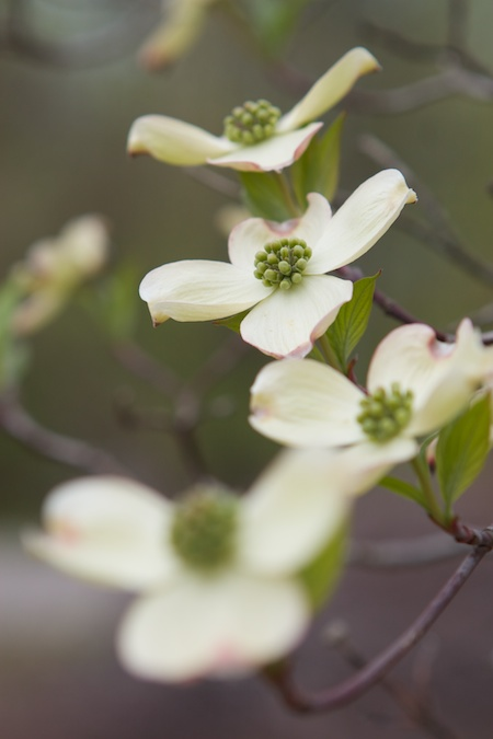 flowering_dogwood