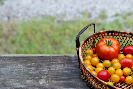 tomato_harvest_2011