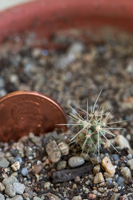 tiny_cactuses 1