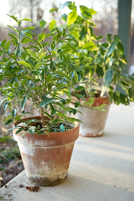 Dwarf Citrus Outside 1