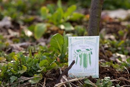 planting peas 2