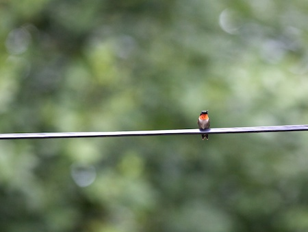 hummingbird on a line