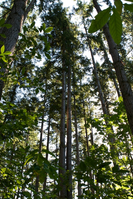 tall trees (1)