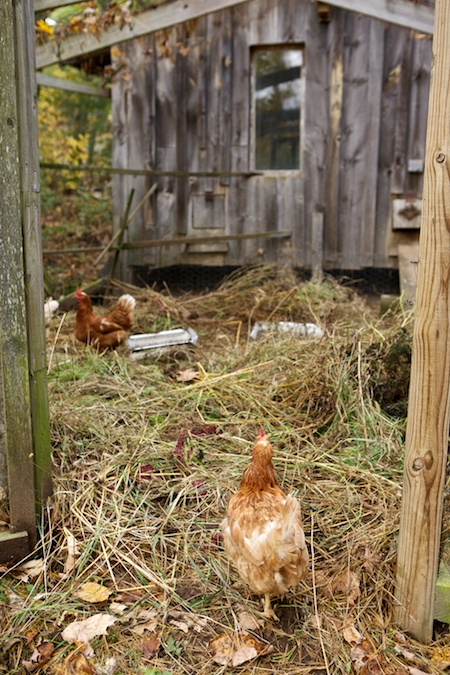 chicken love 1
