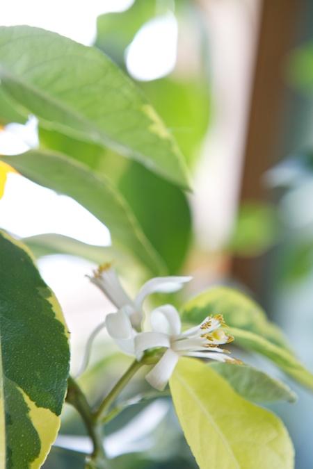 lemon trees blooming 1