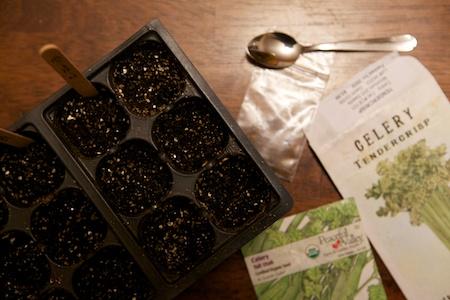 seeding celery 2