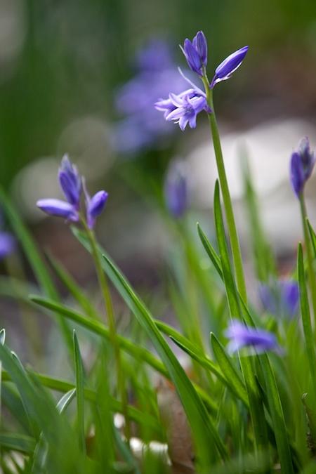 flowering bulbs 7