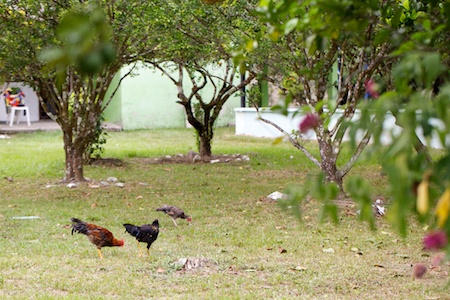Colombian Chickens (1)