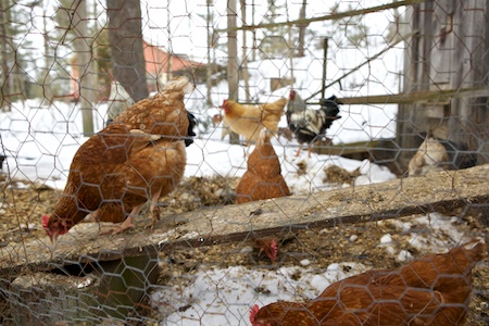 New Chickens 1 (1)