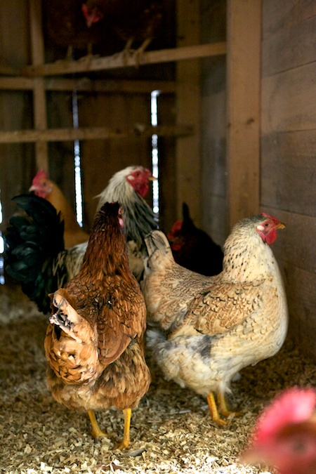 New Chickens 7 (1)