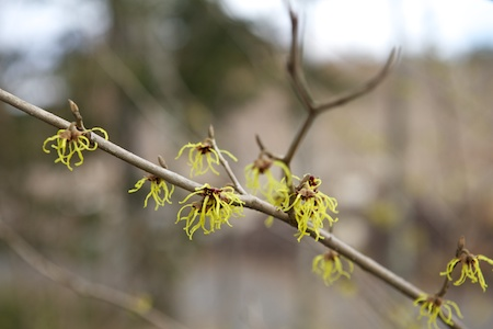Witch Hazel Limelight 2