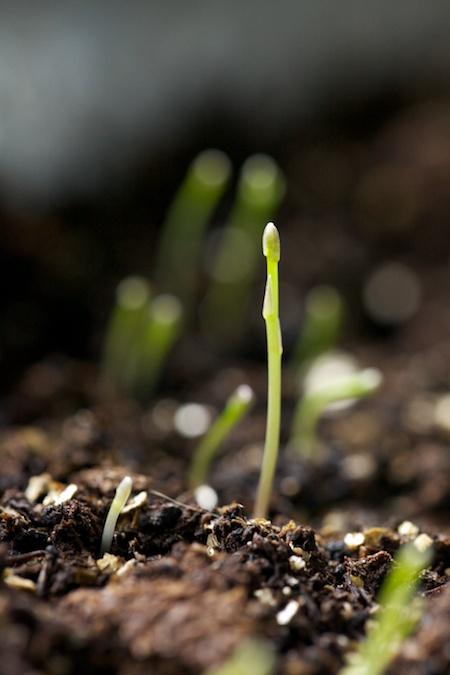 tiny asparagus seedlings 2