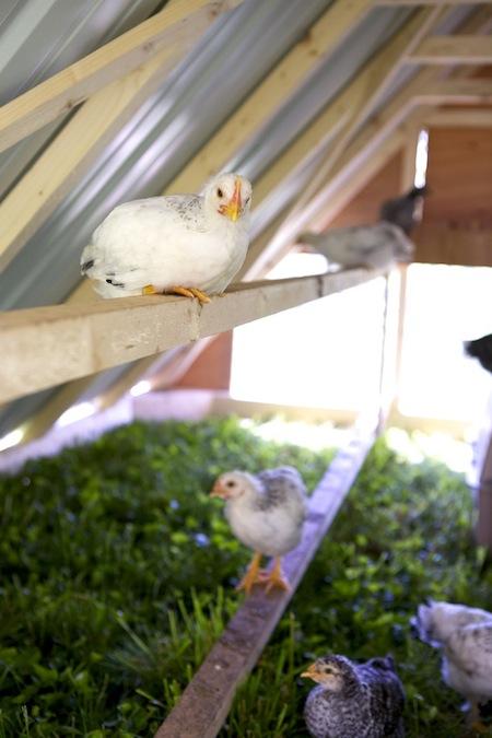 chicks roosting