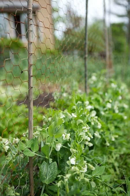 spring peas 2