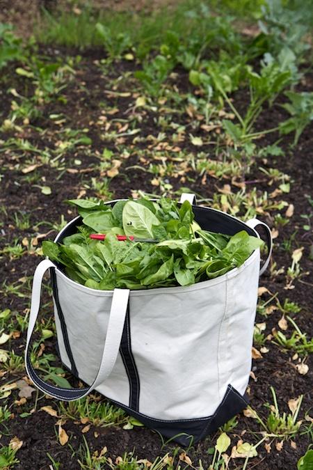 spinach harvest 2
