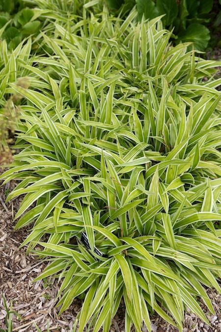 broad leaf sedge 2