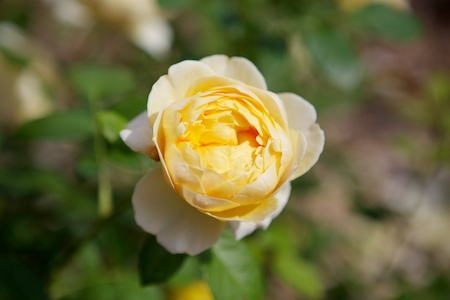 shrub rose charlotte 2