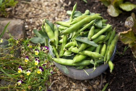 broad beans 2