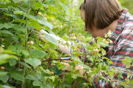 Berry Picking 1