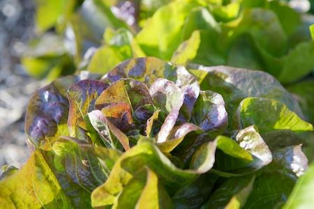 Roxy Lettuce 1