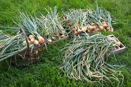 Onion Harvest 6