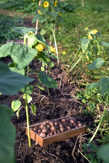 Harvesting potatoes 3