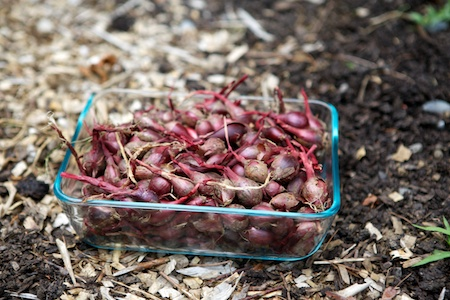 red pearl onions 2