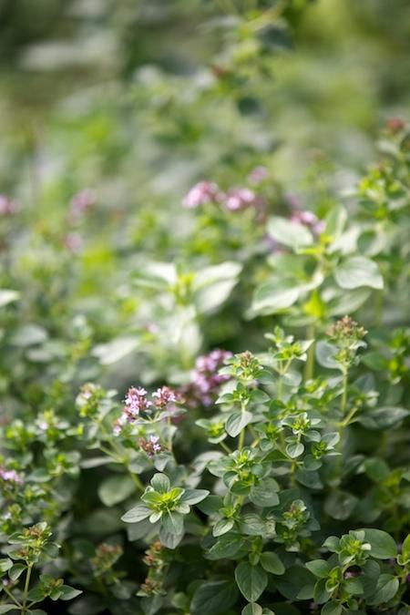 preserving herbs 1