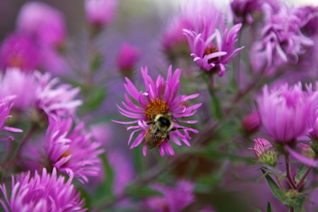New England Asters 2