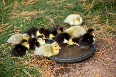 ducklings 1