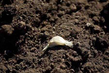 Planting Garlic 4