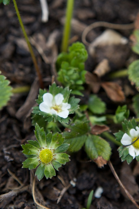 strawberry blooms 2