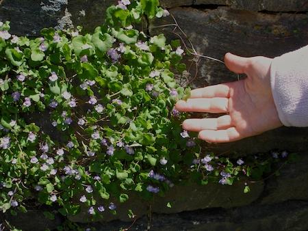 kenilworth ivy (1)