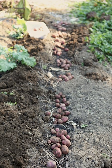 potato harvest 1